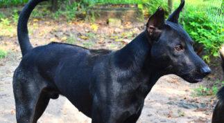 Huấn luyện chó Phú Quốc nghe theo lời răm rắp