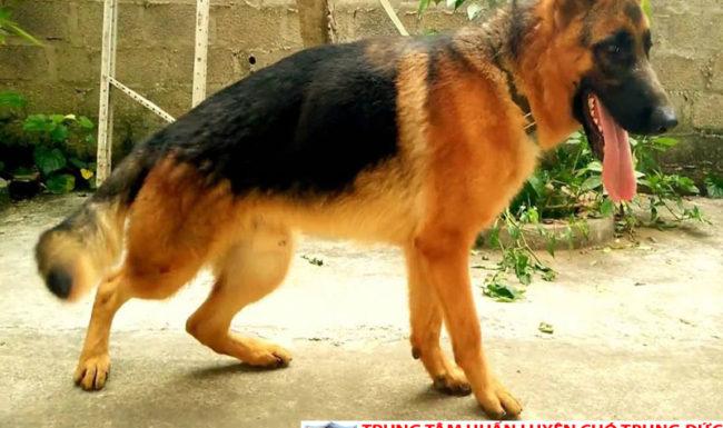 Bán chó Becgie Đức thuần chủng tại Tphcm, Bình Dương giá tốt nhất
